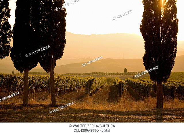 Grapevines and cypress trees, Tuscany, Italy