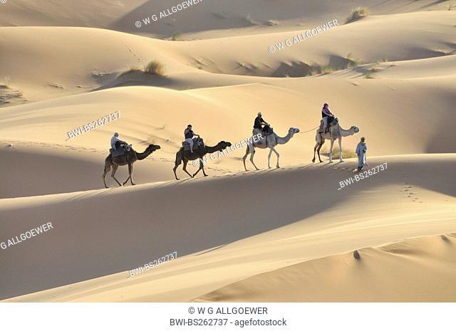 dromedary, one-humped camel Camelus dromedarius, caravan in the desert, Morocco, Erg Chebbi, Sahara