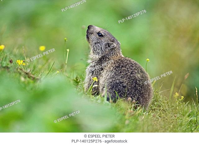 Young Alpine Marmot (Marmota marmota) in meadow in the Alps