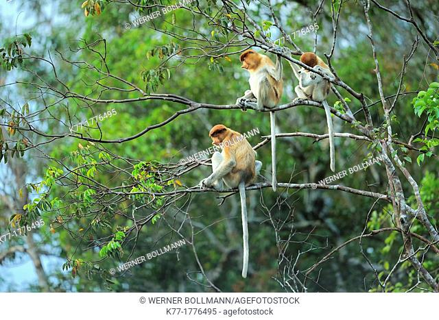 Proboscis Monkeys Nasalis larvatus, Tanjung Puting National Park, Province Kalimantan, Borneo, Indonesia