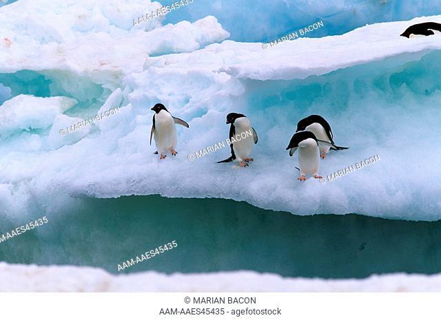 Adelie Penguin (Pygoscelis adeliae), Antarctica, four on ice floe habitat