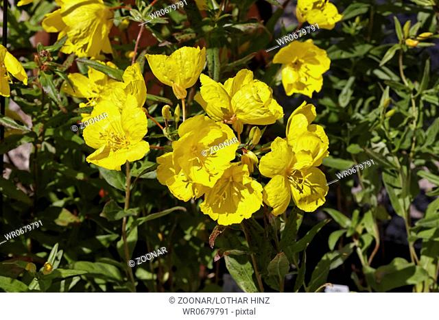 Oenothera tetragona, Evening Primrose, Common Sun