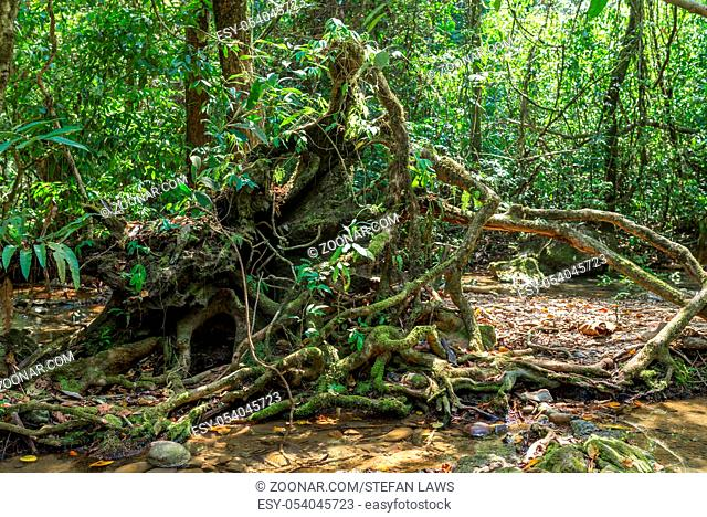 Roots from a fallen tree on the way to the Nam Talu cave in the jungle of the national park Khao Sok in Thailand
