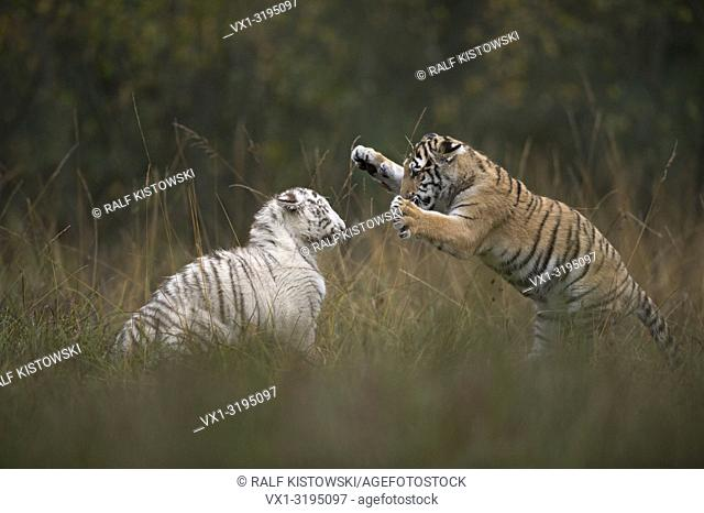Bengal Tiger (Panthera tigris), in playful fight, training their strength and skills