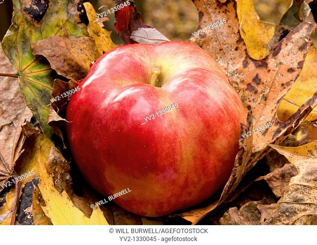 IDA Red apple sitting on fallen leaves