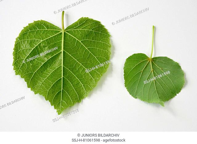 Large leaved Lime (Tilia platyphyllos) left side, leaf and littel-leaved LIme (Tilia cordata)right side, leaf