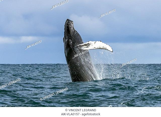 North Atlantic Humpback Whale breaching close to the boat in Húsavík, Iceland. August 24, 2018