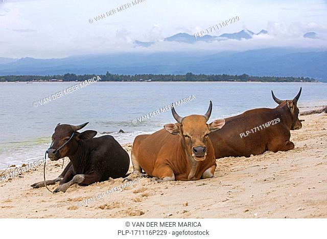 Cows on the beach at Gili Meno, one of the Gili Islands with the island Lombok in the background, Indonesia