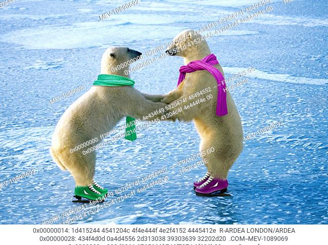 Polar Bear - ice skating (Ursus maritimus). Digitally manipulated image