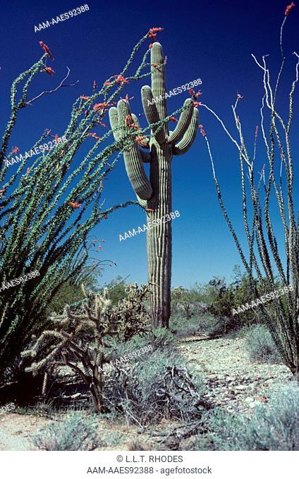 Giant Saguaro Cactus (Cereus giganteus) & Ocotillo (Fouquieria splendens)