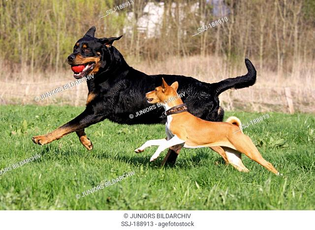 Rottweiler and Basenji on a meadow, playing with a ball. Germany