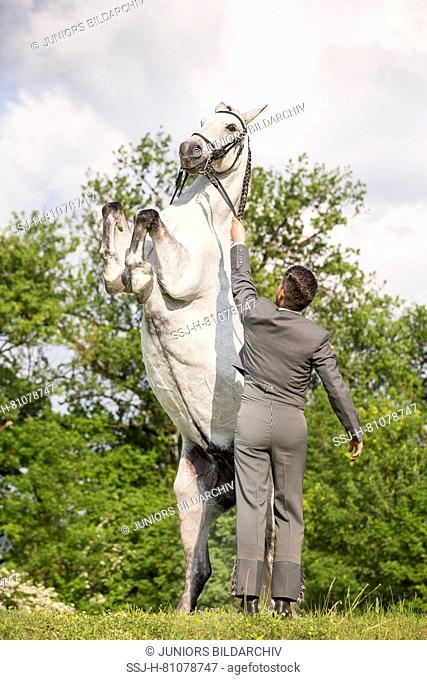 Pure Spanish Horse, Andalusian. The blind gelding Fury showing a pesade, Switzerland
