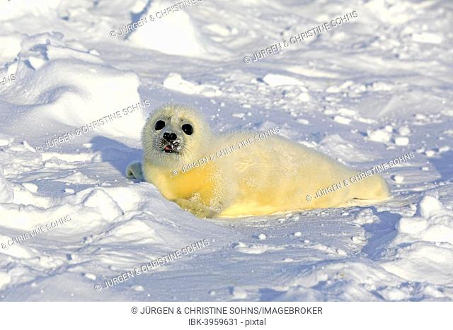 Harp Seal or Saddleback Seal (Pagophilus groenlandicus, Phoca groenlandica) pup on pack ice, Magdalen Islands, Gulf of Saint Lawrence, Quebec, Canada