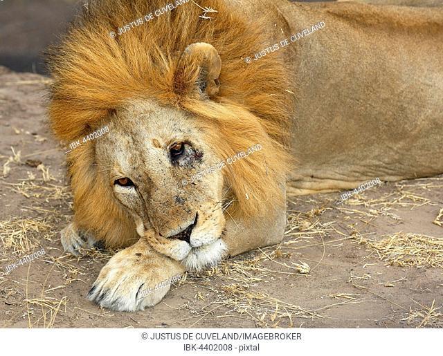 African lion (Panthera leo), male resting, Serengeti National Park, Tanzania