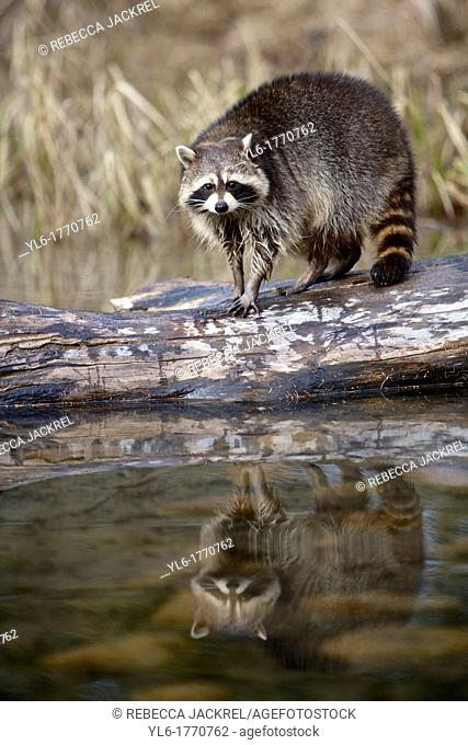 A raccoon Procyon lotor stands on a log after attempting to catch fish. Montana, USA