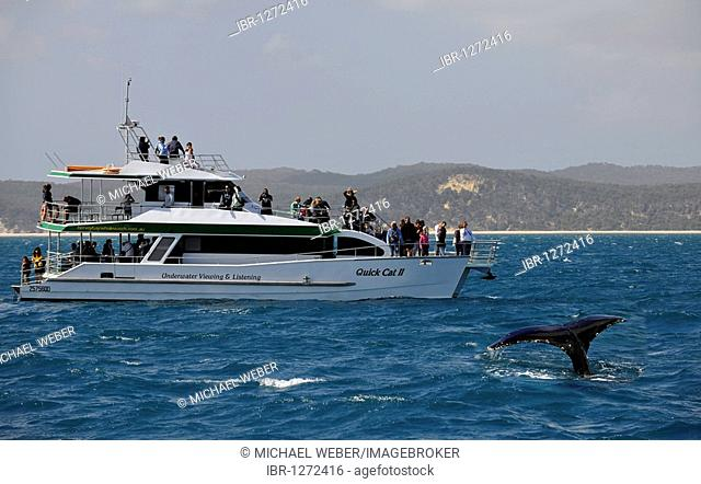 Whale Watching, tail of a Humpback Whale (Megaptera novaeangliae) in front of Fraser Island, Hervey Bay, Queensland, Australia