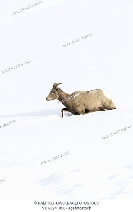 Rocky Mountain Bighorn Sheep ( Ovis canadensis ), ewe, walking through deep snow, following a track, Yellowstone, USA.