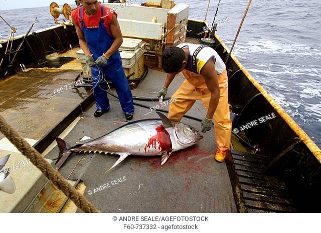 Fishermen bleeds yellowfin tuna, Thunnus albacares, Offshore commercial longline tuna fishing, Brazil, Atlantic Ocean