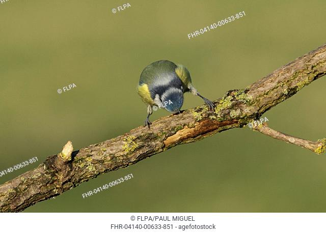 Blue Tit (Cyanistes caeruleus) adult, stripping bark from branch, West Yorkshire, England, December