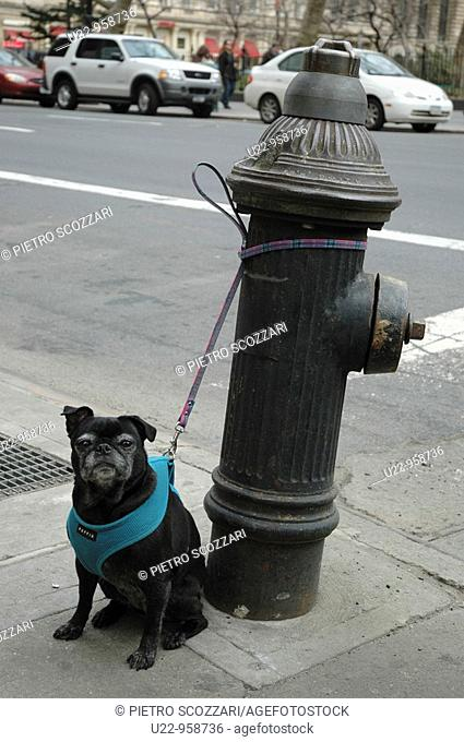 New York City (USA): dog 'parked' at a hydrant in Midtown, Manhattan