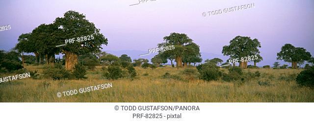 Baobab Trees Tarangire Tanzania Africa