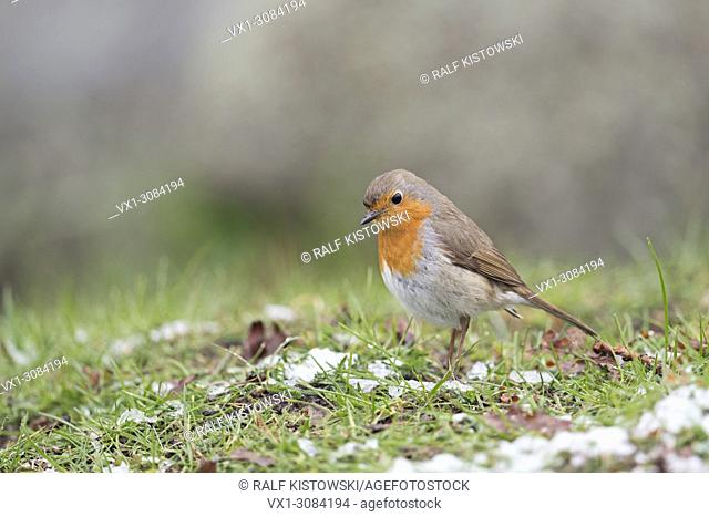 Robin Redbreast ( Erithacus rubecula ), sitting on the ground, searching for food, rests of snow, late onset of winter, wildlife, Europe