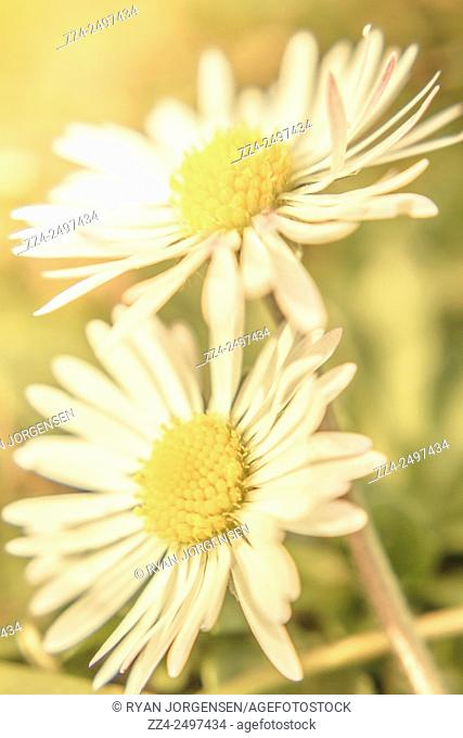 In a union of growth and connection two fine art daisies touch side by side in a pastel toned garden. Inseparable