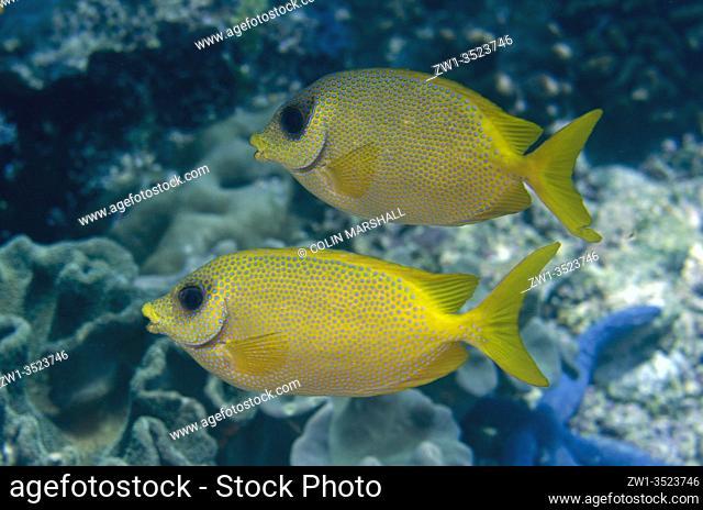 Coral Rabbitfish (Siganus coralinus), Sardine Reef dive site, Dampier Strait, Raja Ampat, Indonesia