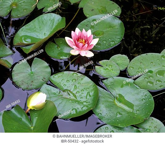 Water lily Nymphaea alba