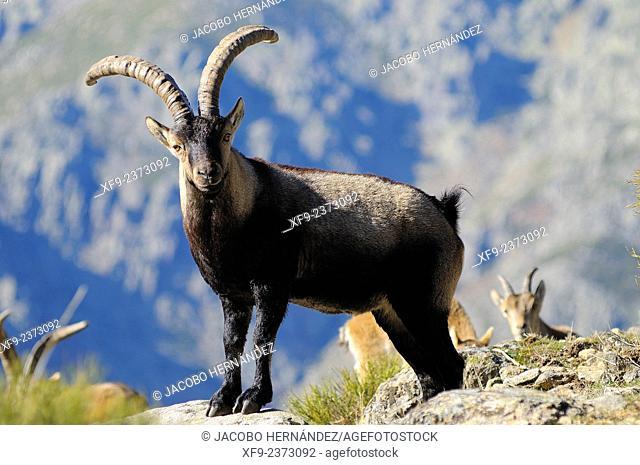 Spanish ibex(Capra pyrenaica) La Sierra Game Reserve.Gredos mountains.Cáceres province.Extremadura.Spain