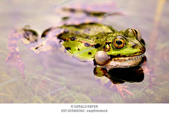 pelophylax esculentus evocative of males with paired vocal sacs