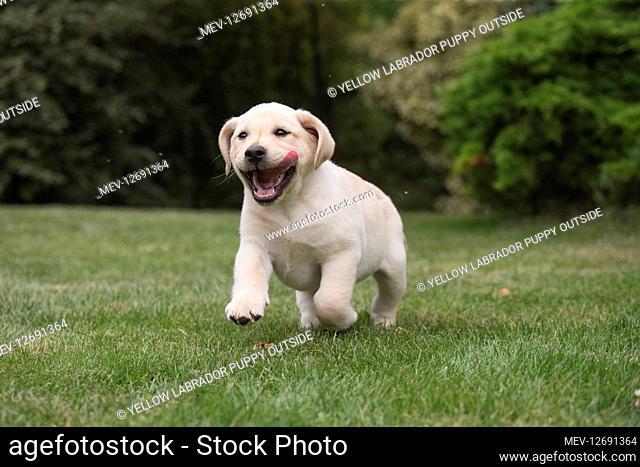 Yellow Labrador puppy outside
