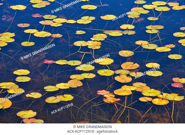 Water lilies, Port Carling, Ontario, Canada