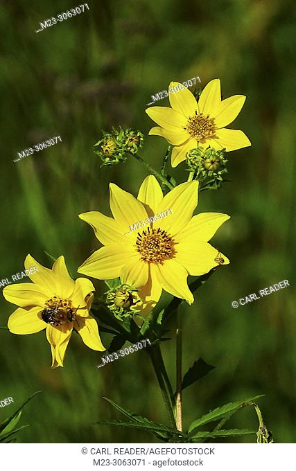 Tickseed Sunflower,Bidens aristosa, makes an appearance in late summer, Pennsylvania, USA