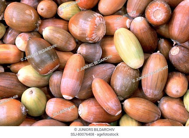 DEU, 2003: English Oak, Pedunculate Oak (Quercus robur), acorns