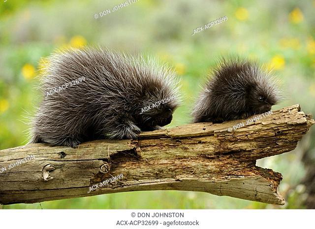 Porcupine Erethizon dorsatum Baby and adult. Captive animal