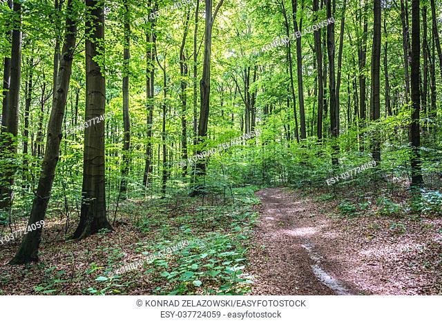 Beech trees in Pazurek Nature Reserve, part of Eagles Nests Landscape Park in Lesser Poland Voivodeship of Poland