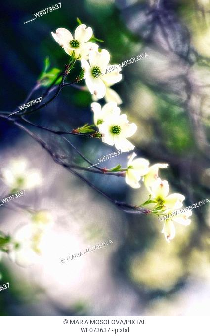 White Dogwood Blossom. Cornus florida. April 2006, Maryland, USA