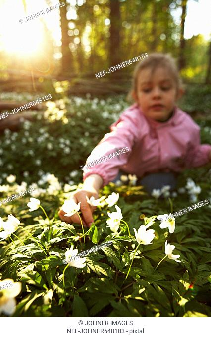 A girl picking wood anemones, Sweden