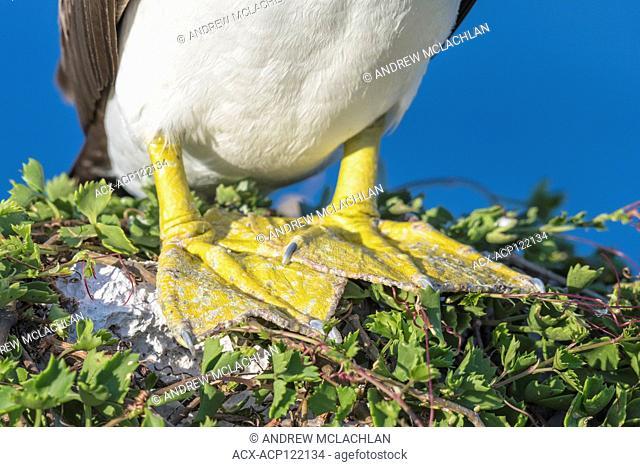 Brown Booby (Sula leucogaster) feet, Cayman Brac, Cayman Islands, British West Indies