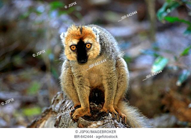 Red-fronted Brown Lemur (Eulemur fulvus ssp. rufus), adult male, Berenty Game Reserve, Madagascar, Africa