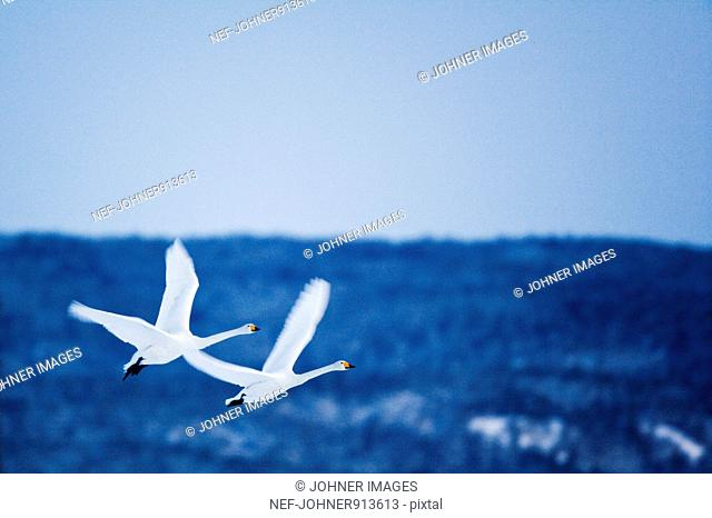 Flying whoopers, Sweden