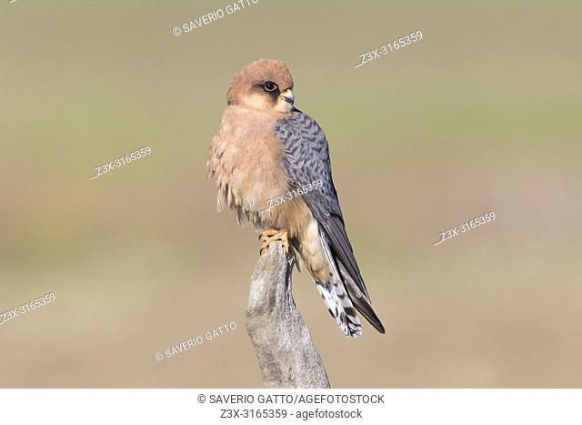Red-footed Falcon (Falco vespertinus), adult female perched on a dead branch