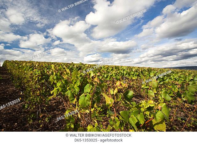 France, Marne, Champagne Region, Epernay, town vineyard