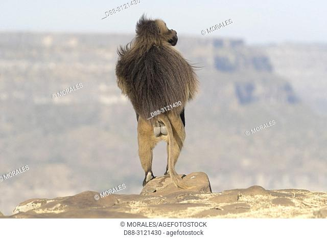 Africa, Ethiopia, Rift Valley, Debre Libanos, Gelada or Gelada baboon (Theropithecus gelada), dominant male, standing up