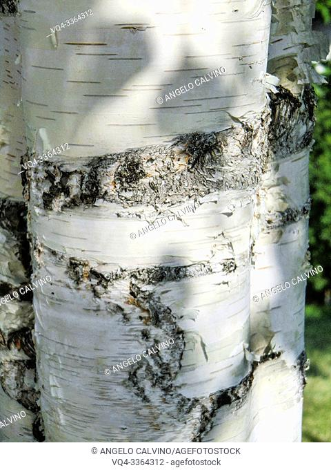 Common birch, silver birch, European white birch, white birch (Betula pendula, Betula alba), taken in July in Valle Aurina, Ahrntal, Alto Adige, South Tyrol