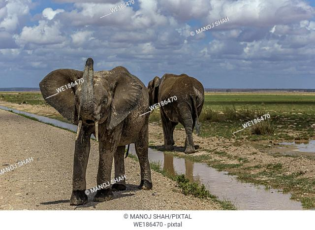 African Elephant drinking in the marsh in Amboselli National Park