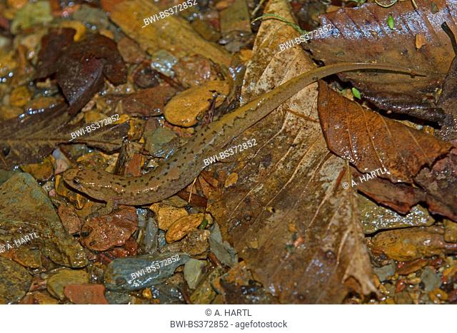 Seepage salamander (cf. Desmognathus aeneus), on wet forest floor, USA, Tennessee, Great Smoky Mountains National Park