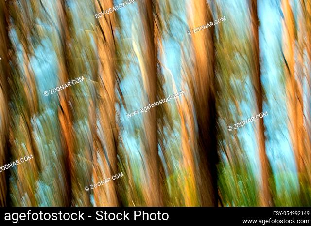 Bäume im Darßer Wald/Deutschland - Trees in the Darss Forest/Germany