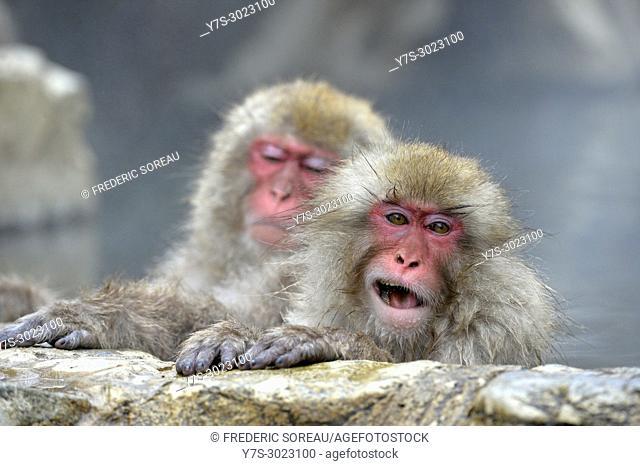 Japanese Macaque snow monkey at Jigokudani Monkey Park near Nagano, Honshu, Japan, Asia